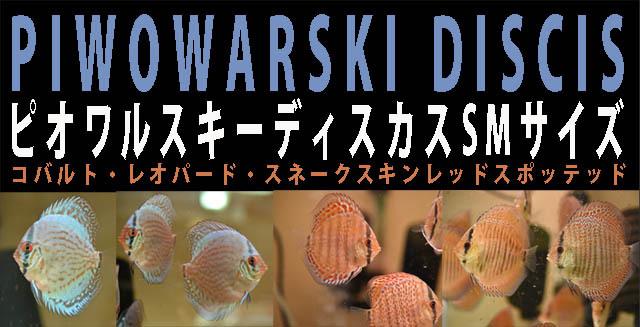 12月8日入荷ピオワルスキーディスカスSMサイズ640.jpg