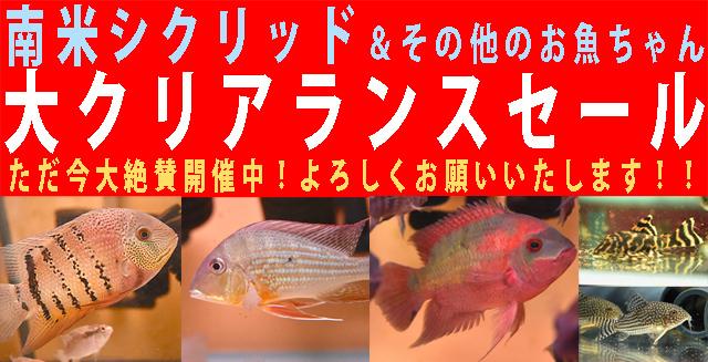 南米シクリッド&その他のお魚ちゃんセール開催中!!640.jpg