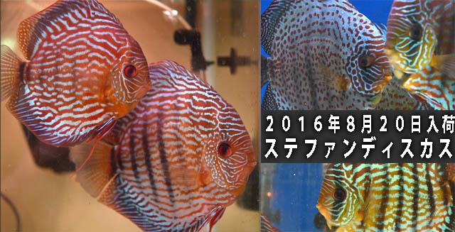 2016年8月20日入荷ステファンディスカス640.jpg