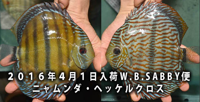 4月1日入荷ニャムンダ・ヘッケルクロスa.jpg